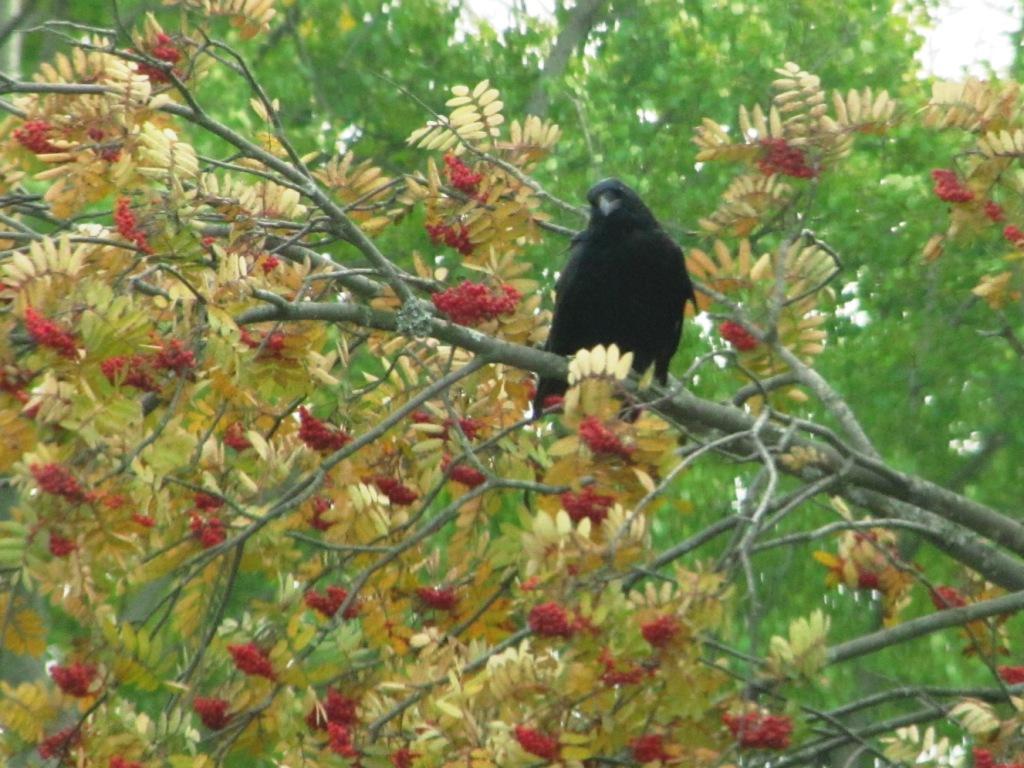 raven and rowan